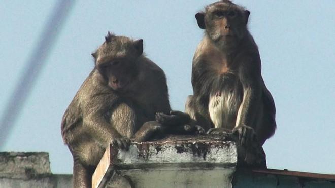Cận cảnh đàn khỉ hơn 10 con trước khi bị bắn thuốc mê - 13