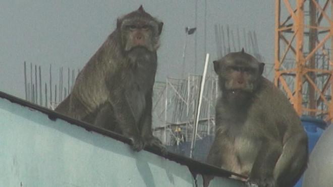 Cận cảnh đàn khỉ hơn 10 con trước khi bị bắn thuốc mê - 11