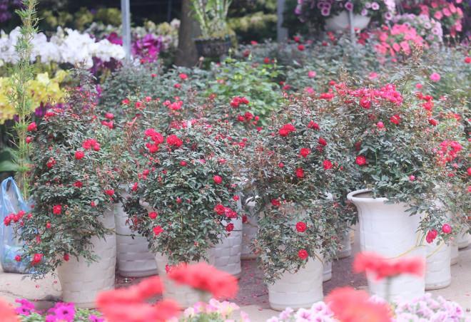 Hà Nội: Giá chỉ từ 500.000 đồng/chậu hoa hồng đẹp xao xuyến chờ khách chơi Tết - 3