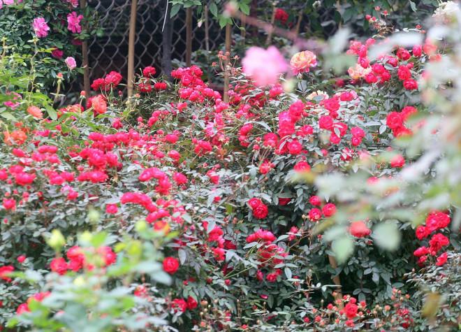 Hà Nội: Giá chỉ từ 500.000 đồng/chậu hoa hồng đẹp xao xuyến chờ khách chơi Tết - 4