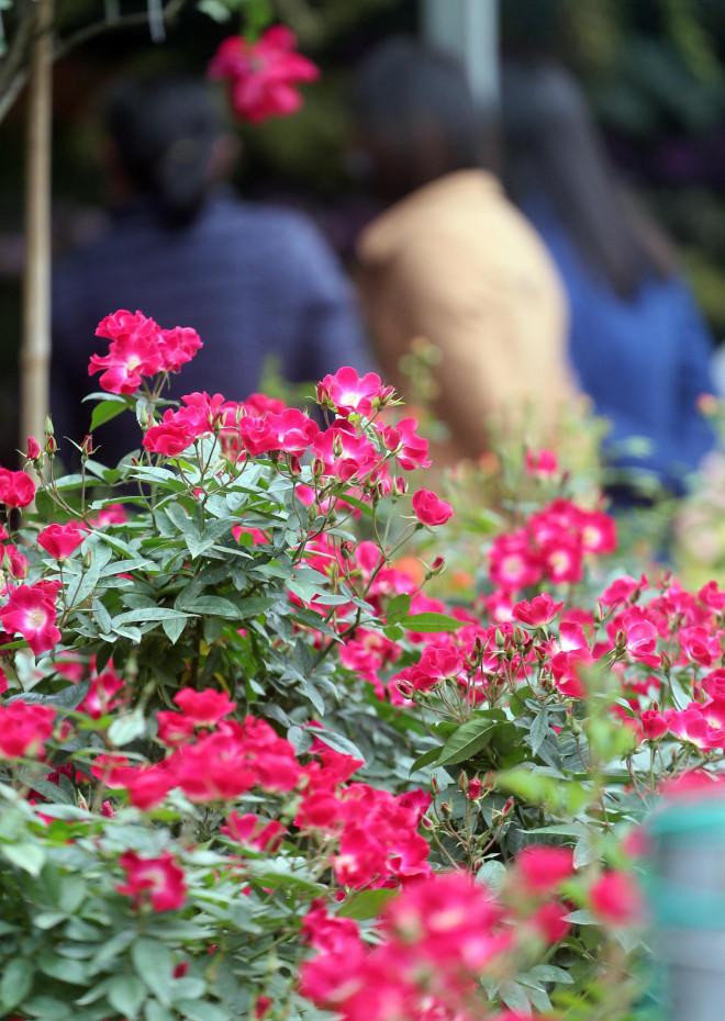Hà Nội: Giá chỉ từ 500.000 đồng/chậu hoa hồng đẹp xao xuyến chờ khách chơi Tết - 6