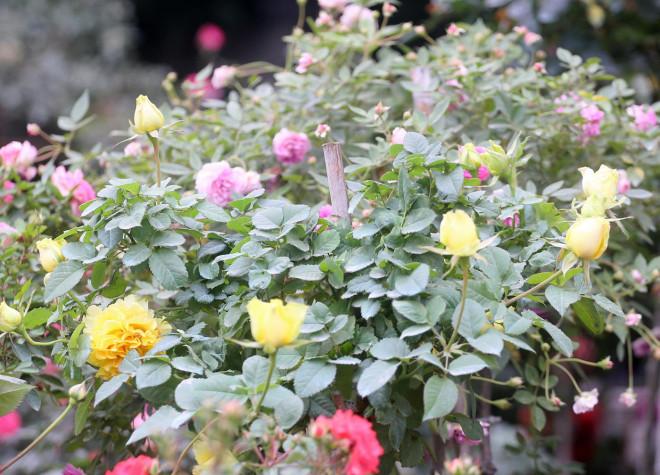 Hà Nội: Giá chỉ từ 500.000 đồng/chậu hoa hồng đẹp xao xuyến chờ khách chơi Tết - 7