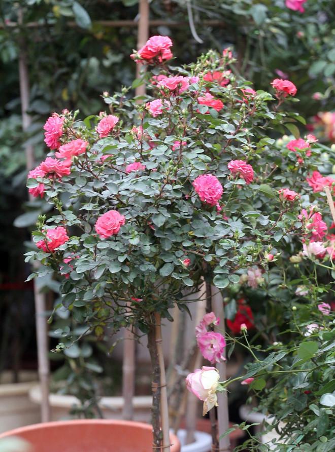 Hà Nội: Giá chỉ từ 500.000 đồng/chậu hoa hồng đẹp xao xuyến chờ khách chơi Tết - 8