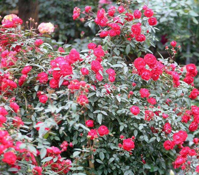Hà Nội: Giá chỉ từ 500.000 đồng/chậu hoa hồng đẹp xao xuyến chờ khách chơi Tết - 10
