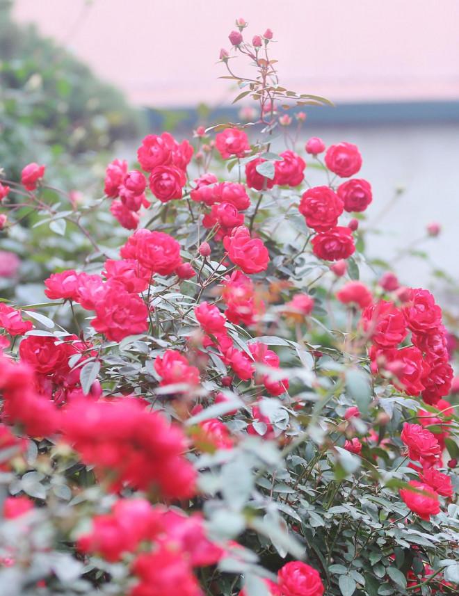 Hà Nội: Giá chỉ từ 500.000 đồng/chậu hoa hồng đẹp xao xuyến chờ khách chơi Tết - 12