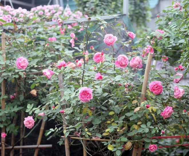 Hà Nội: Giá chỉ từ 500.000 đồng/chậu hoa hồng đẹp xao xuyến chờ khách chơi Tết - 14