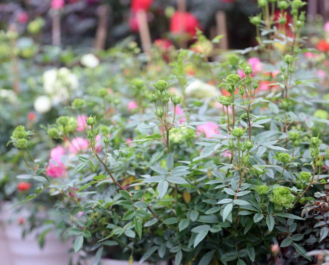 Hà Nội: Giá chỉ từ 500.000 đồng/chậu hoa hồng đẹp xao xuyến chờ khách chơi Tết - 13