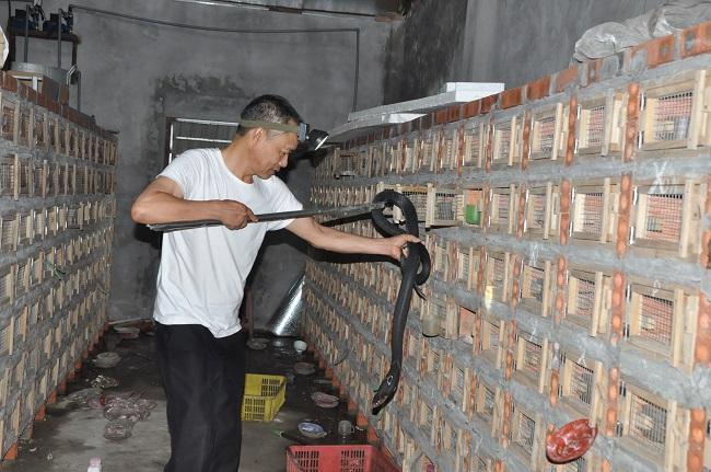 Cả năm làng nghề nuôi rắn hổ mang ở Tứ Xã không có bóng dáng của thương lái đến mua.