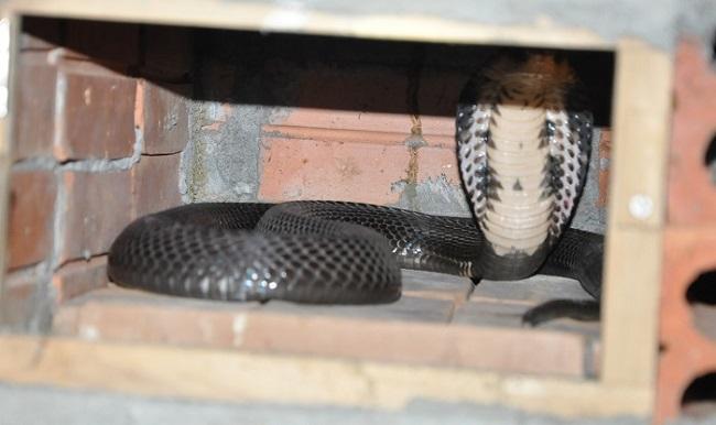 Thời điểm rực rỡ nhất, các hộ nuôi rắn hổ mang xuất cả trăm vạn trứng và hàng tấnrắn thương phẩm sang Trung Quốc nhưng hiện tại thì không có ai mua.