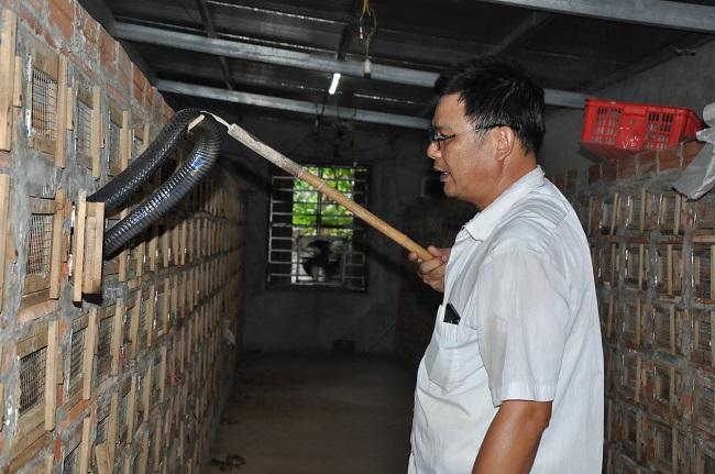 Rắn hổ mang hiện tại được bán với giá chỉ 100-150.000 đồng/con để nấu cao, trong khi trước đây lên tới 1,2-1, triệu đồng/kg.