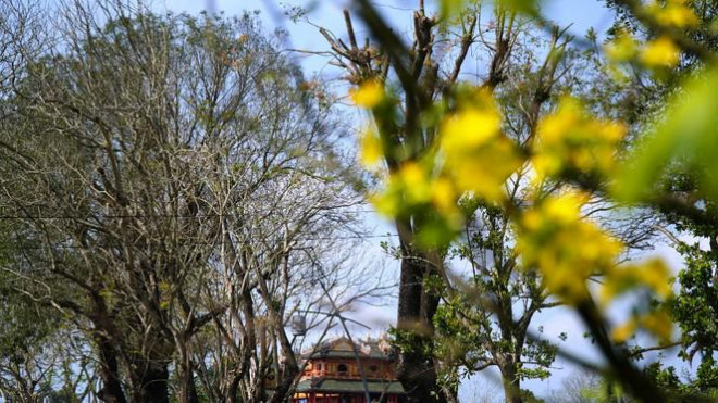 Sững sờ trước 'góc trời Hoàng mai' rực rỡ trong kinh thành Huế - 12