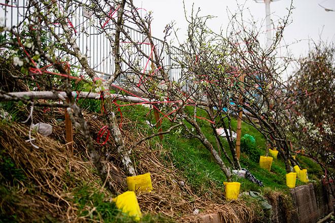 Hoa lê rừng khoe sắc trắng tinh khôi, hút hồn người chơi hoa Hà Nội - hình ảnh 11