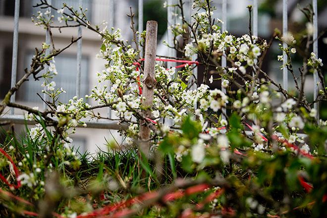 Hoa lê rừng khoe sắc trắng tinh khôi, hút hồn người chơi hoa Hà Nội - hình ảnh 12