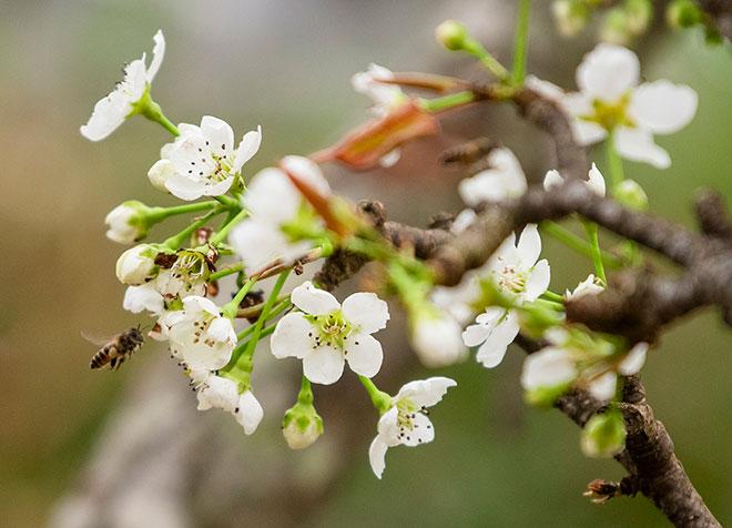 Hoa lê rừng khoe sắc trắng tinh khôi, hút hồn người chơi hoa Hà Nội - hình ảnh 13