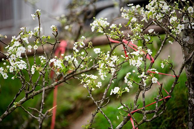Hoa lê rừng khoe sắc trắng tinh khôi, hút hồn người chơi hoa Hà Nội - hình ảnh 3