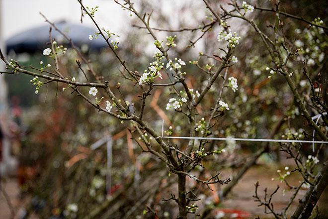 Hoa lê rừng khoe sắc trắng tinh khôi, hút hồn người chơi hoa Hà Nội - hình ảnh 7