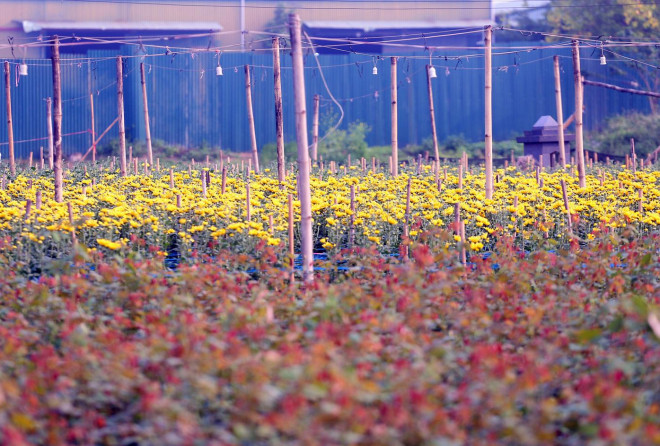 Rẻ bằng 1/3 so với trước Tết, nông dân rớt nước mắt nhìn ruộng hoa nở rộ - 1