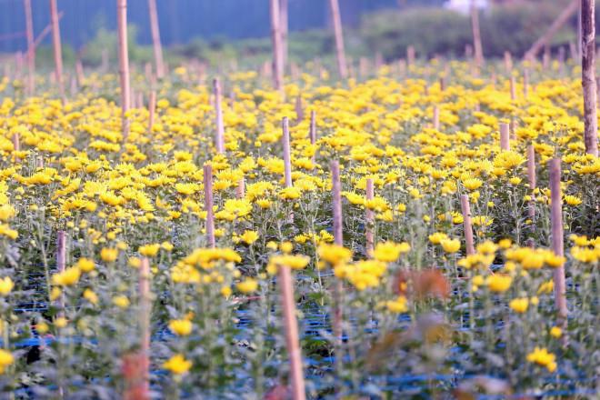 Rẻ bằng 1/3 so với trước Tết, nông dân rớt nước mắt nhìn ruộng hoa nở rộ - 3