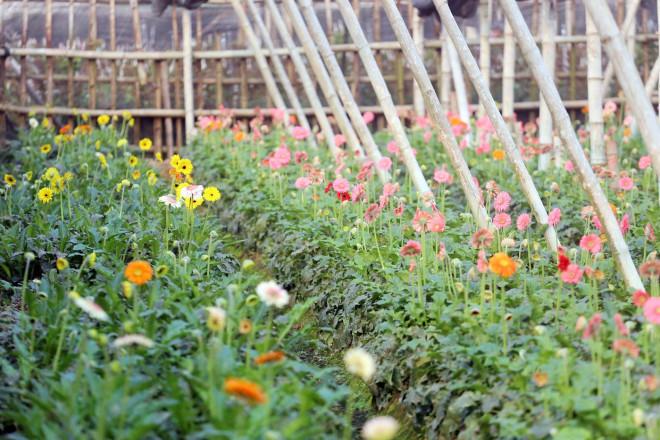 Rẻ bằng 1/3 so với trước Tết, nông dân rớt nước mắt nhìn ruộng hoa nở rộ - 4