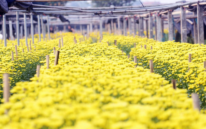 Rẻ bằng 1/3 so với trước Tết, nông dân rớt nước mắt nhìn ruộng hoa nở rộ - 6