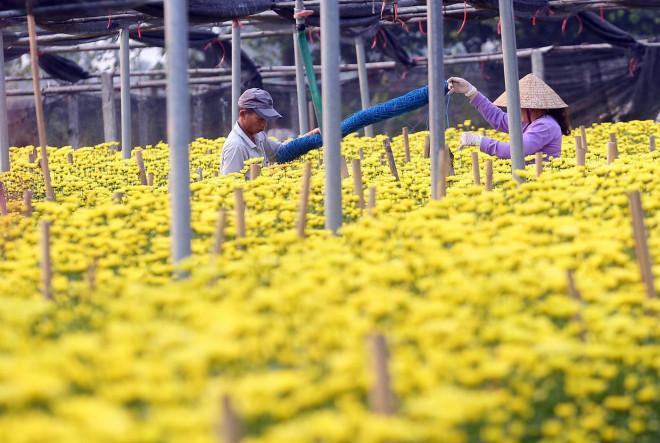 Rẻ bằng 1/3 so với trước Tết, nông dân rớt nước mắt nhìn ruộng hoa nở rộ - 5