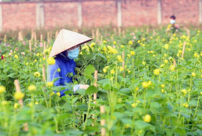 Rẻ bằng 1/3 so với trước Tết, nông dân rớt nước mắt nhìn ruộng hoa nở rộ - 8