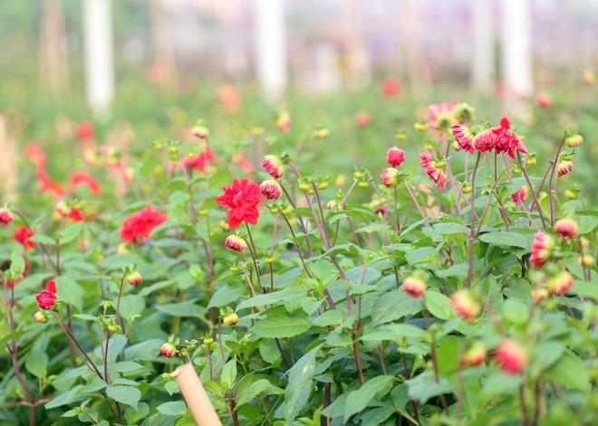 Rẻ bằng 1/3 so với trước Tết, nông dân rớt nước mắt nhìn ruộng hoa nở rộ - 9