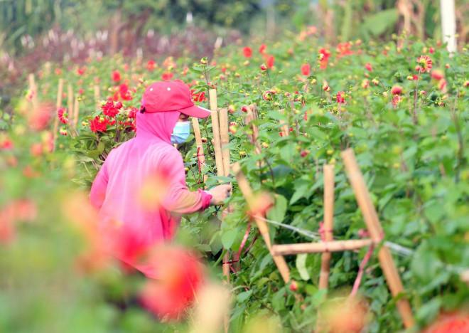 Rẻ bằng 1/3 so với trước Tết, nông dân rớt nước mắt nhìn ruộng hoa nở rộ - 7