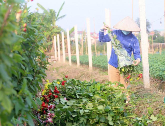Rẻ bằng 1/3 so với trước Tết, nông dân rớt nước mắt nhìn ruộng hoa nở rộ - 10