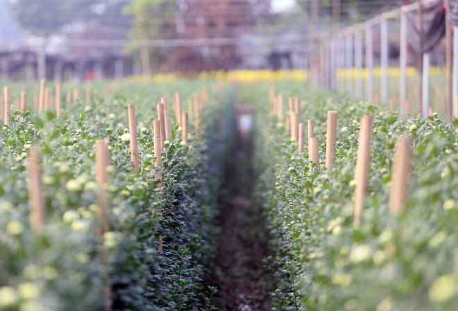 Rẻ bằng 1/3 so với trước Tết, nông dân rớt nước mắt nhìn ruộng hoa nở rộ - 12