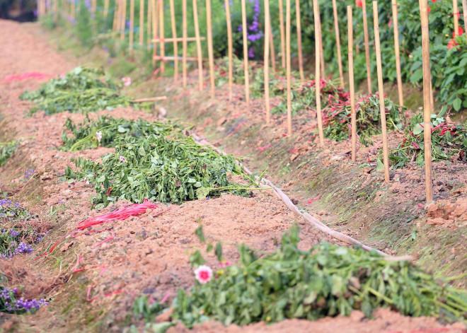 Rẻ bằng 1/3 so với trước Tết, nông dân rớt nước mắt nhìn ruộng hoa nở rộ - 14