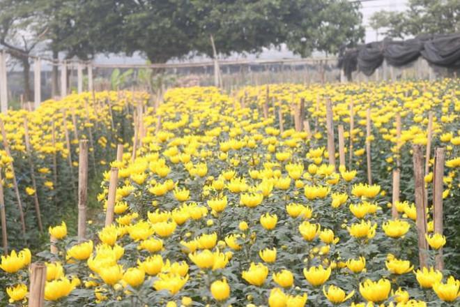 Sát Rằm tháng Giêng, giá hoa ở Hà Nội thấp lạ thường - 1