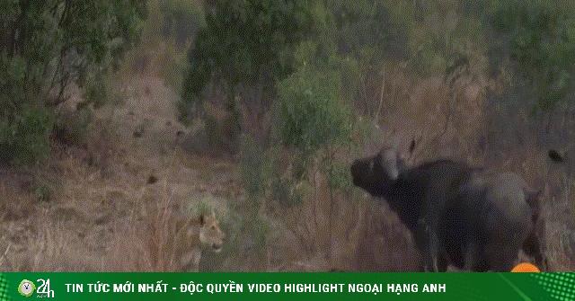 Video: Trâu mẹ bất lực khi chiến đấu với đàn sư tử hung dữ