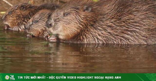 Anh: Loài vật tuyệt chủng hơn 400 năm trước quay trở lại giúp dân