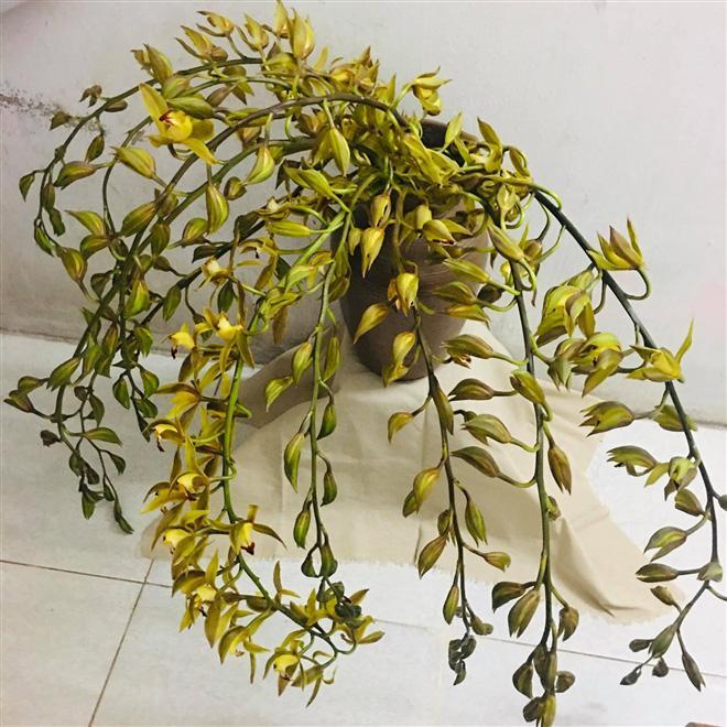 """Thị trường hoa 8/3: Địa lan trần mộng, hồ điệp bỗng """"rẻ như rau"""" chỉ 10.000 đồng/cành? - 2"""
