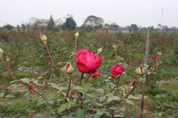 Đến nay, cô có thể mạnh dạn nói với người trồng hồng là mở rộng diện tích trồng trọt.