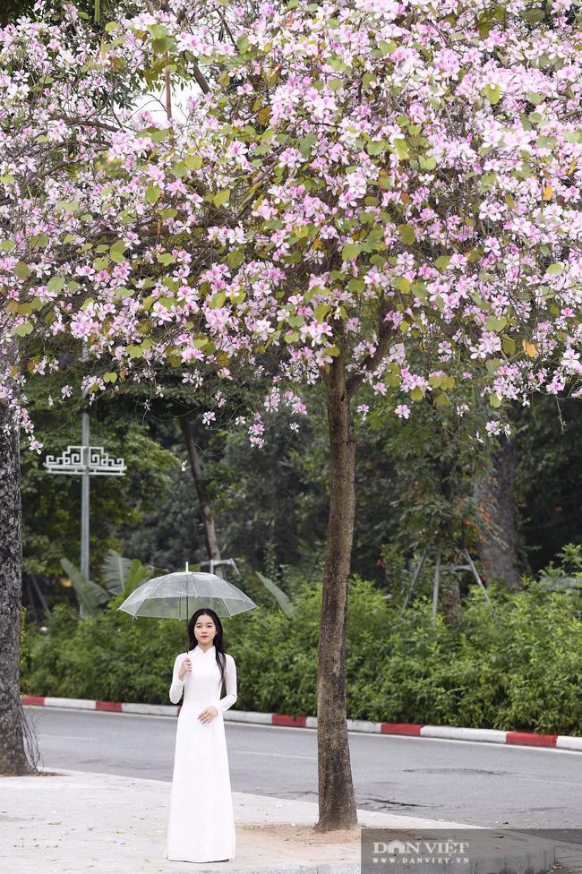 """Hà Nội: Hoa ban nở rộ, giới trẻ đua nhau """"khoe sắc"""" trên phố Bắc Sơn, Hoàng Diệu - 4"""