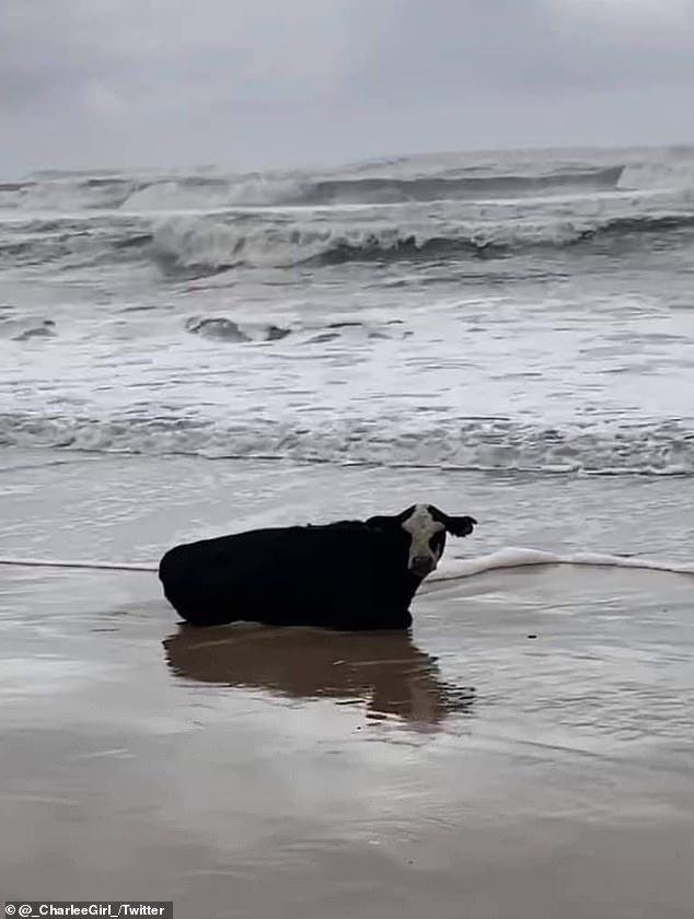 Ngỡ ngàng phát hiện con bò còn sống nguyên trôi dạt vào bờ biển - hình ảnh 1