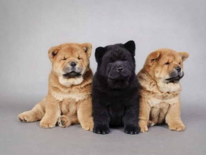 7 giống chó đắt nhất thế giới, không phải ai cũng mua được - 2