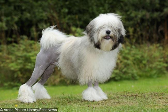 7 giống chó đắt nhất thế giới, không phải ai cũng mua được - 3