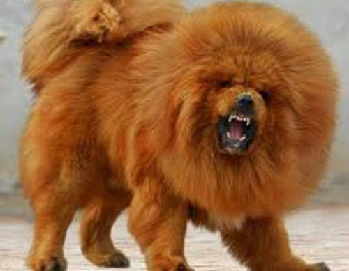 7 giống chó đắt nhất thế giới, không phải ai cũng mua được - 4