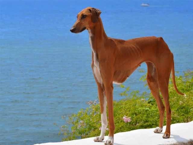 7 giống chó đắt nhất thế giới, không phải ai cũng mua được - 5