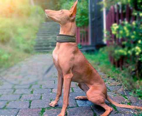 7 giống chó đắt nhất thế giới, không phải ai cũng mua được - 6