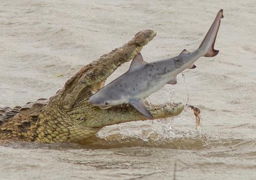 Kinh ngạc cảnh cá sấu quái vật nặng 700kg nuốt chửng cá mập