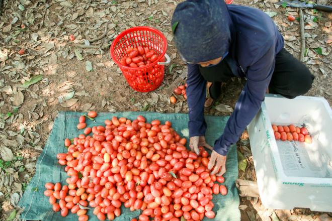 Người dân Hà Nội bội thu cả trăm triệu đồng mùa nhót chín