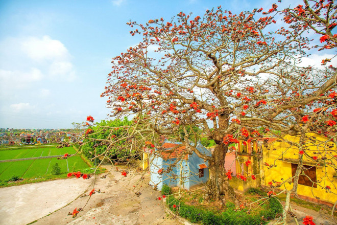 Choáng ngợp trước bộ ảnh hoa gạo đẹp đến nao lòng trên miền quê Thái Bình - 3