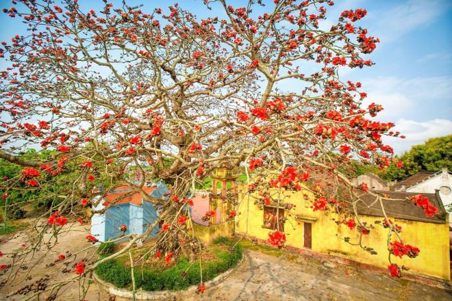 Choáng ngợp trước bộ ảnh hoa gạo đẹp đến nao lòng trên miền quê Thái Bình - 1