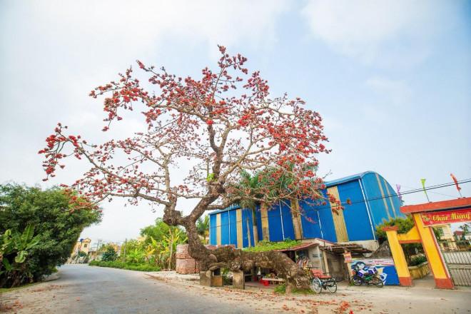 Choáng ngợp trước bộ ảnh hoa gạo đẹp đến nao lòng trên miền quê Thái Bình - 5