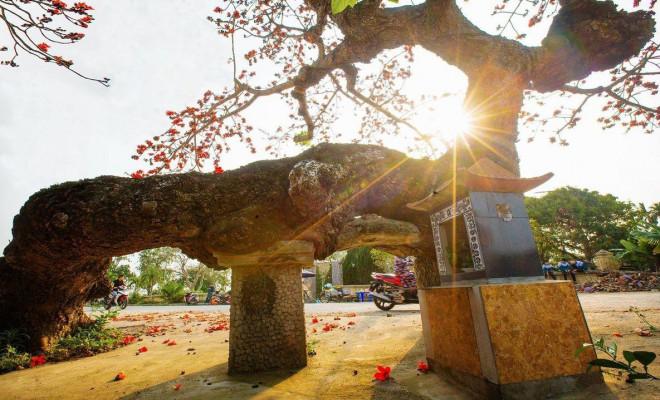Choáng ngợp trước bộ ảnh hoa gạo đẹp đến nao lòng trên miền quê Thái Bình - 4