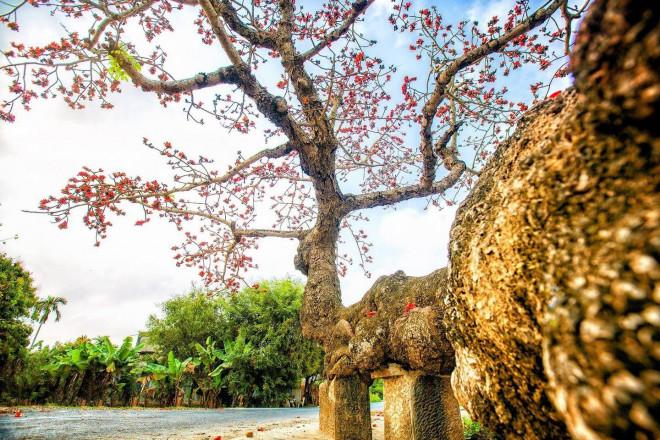 Choáng ngợp trước bộ ảnh hoa gạo đẹp đến nao lòng trên miền quê Thái Bình - 8